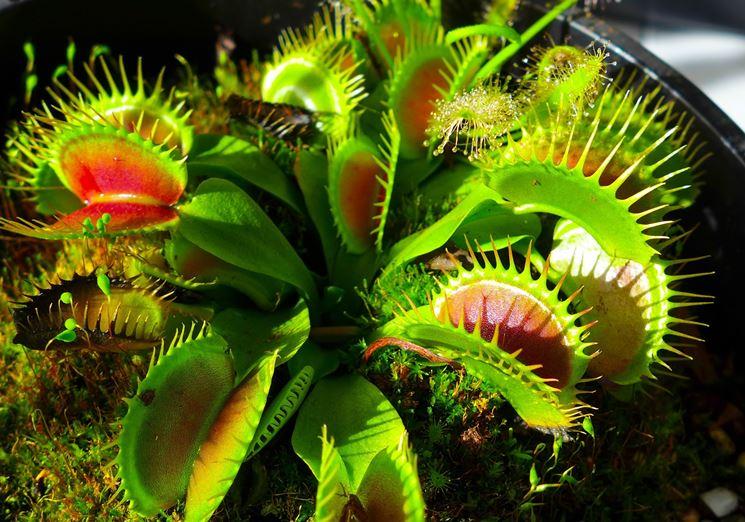 Esempio di pianta carnivora