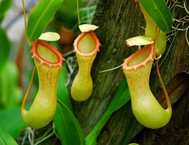 Esemplare di pianta carnivora