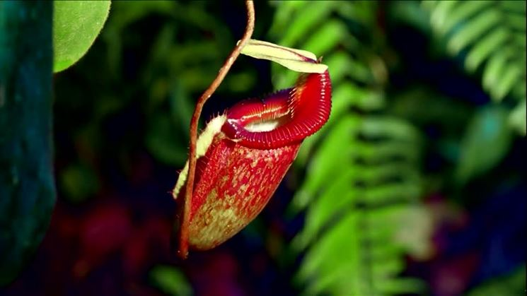 Esemplare di pianta di Nepente