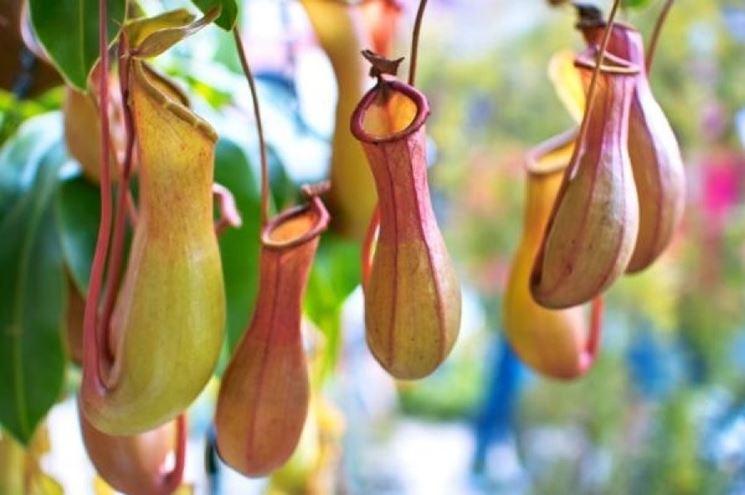 nepente pianta carnivora