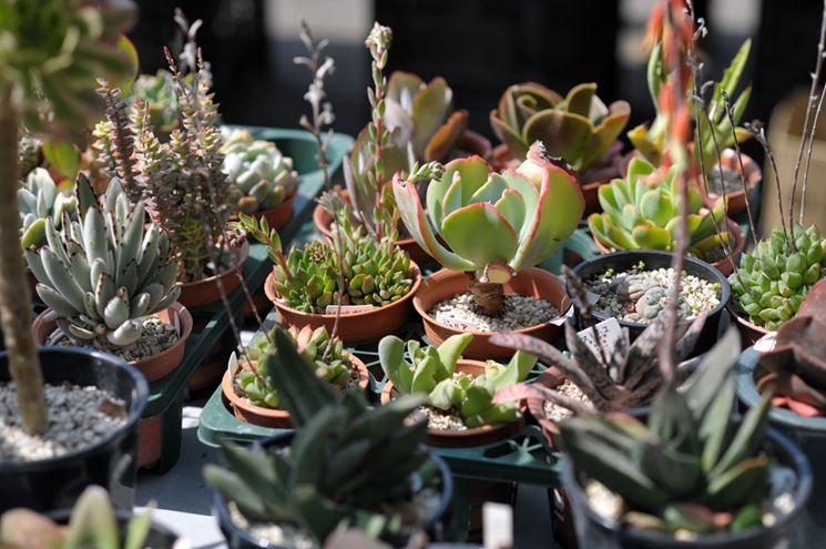 Piante grasse con fiori - Piante Grasse da appartamento - Caratteristiche piante grasse con fiori
