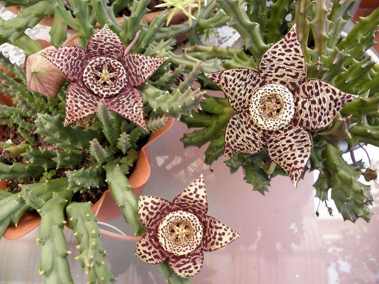 Piante grasse con fiori - Piante Grasse da appartamento ...