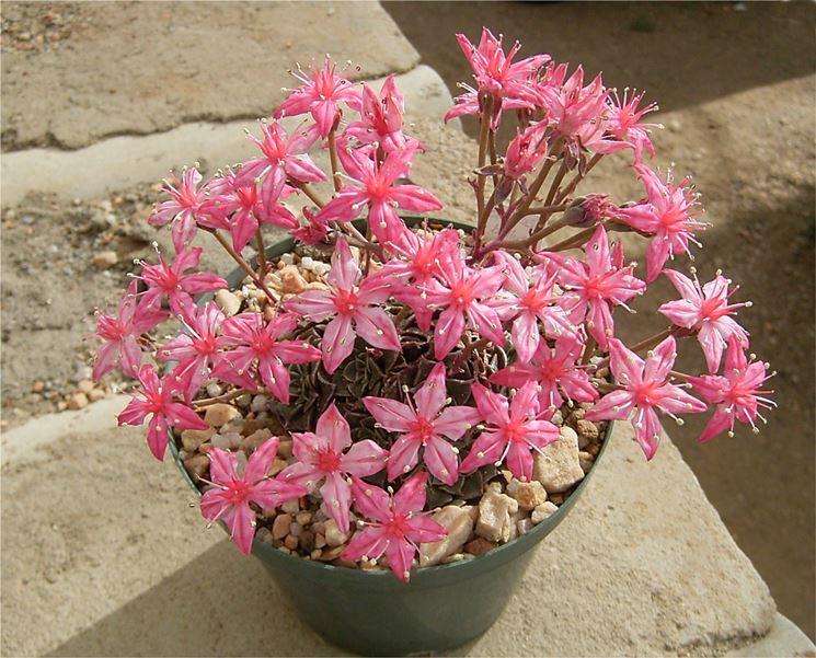 Piante grasse con fiori piante grasse da appartamento - Piante fiorite da appartamento ...