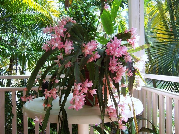 Piante grasse pendenti piante grasse da appartamento - Piante fiorite da appartamento ...