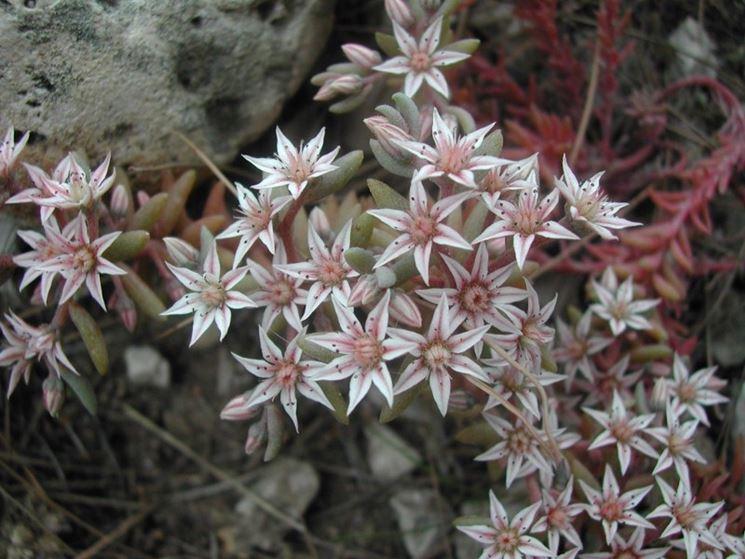 Esemplare di Sudum, pianta grassa rampicante