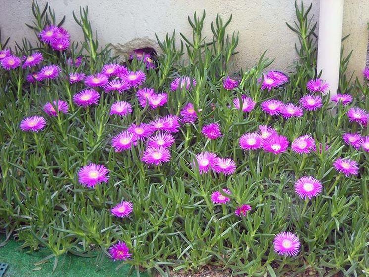 Carpobrotus la pianta grassa rampicante con fiori rossi e rosa