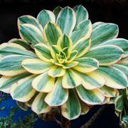 esemplare di pianta grassa rara