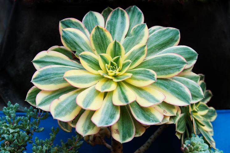 Piante grasse rare piante grasse da appartamento for Piante rare