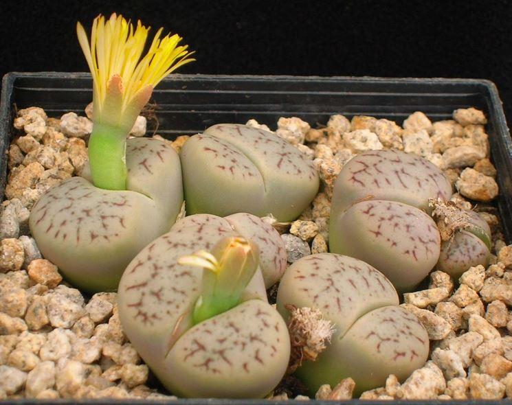 Piante grasse senza spine piante grasse da appartamento for Piante grasse senza spine