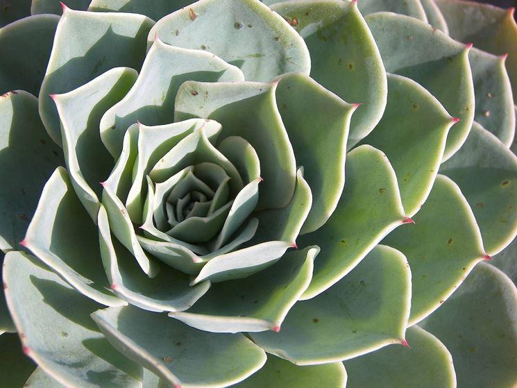 piante grasse succulente