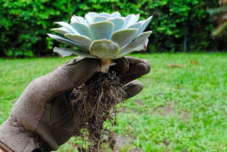 Rinvaso piante grasse piante grasse da appartamento - Piante grasse da esterno pendenti ...