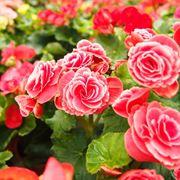 begonia tuberhybrida   fonte:http://www.jardinage.eu