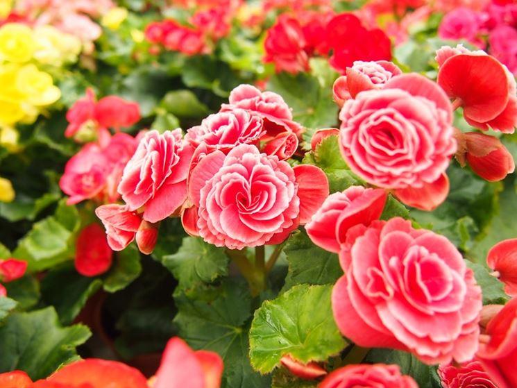 Begonia piante per giardino begonia pianta for Begonia pianta
