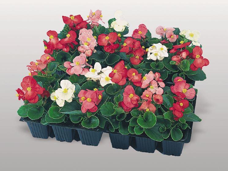piantine di begonia semperflorens   fonte: http://www.benary.com