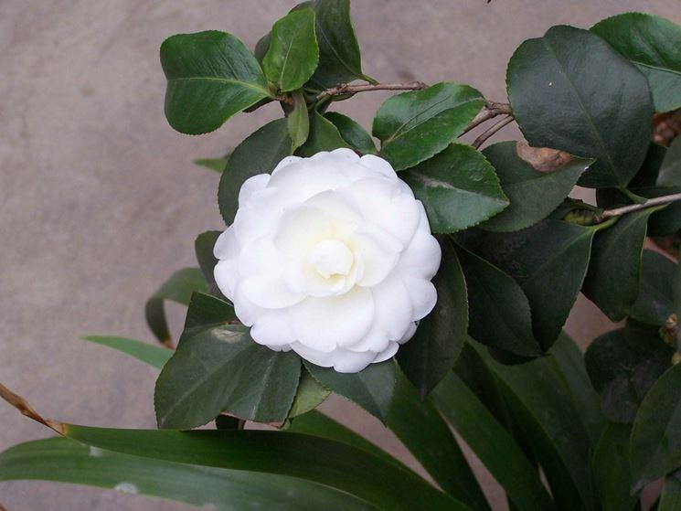 Fiore bianco di Camelia