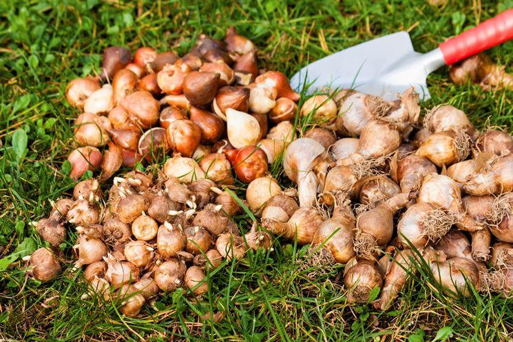 Coltivazione bulbi piante per giardino come coltivare for Piante da bulbo