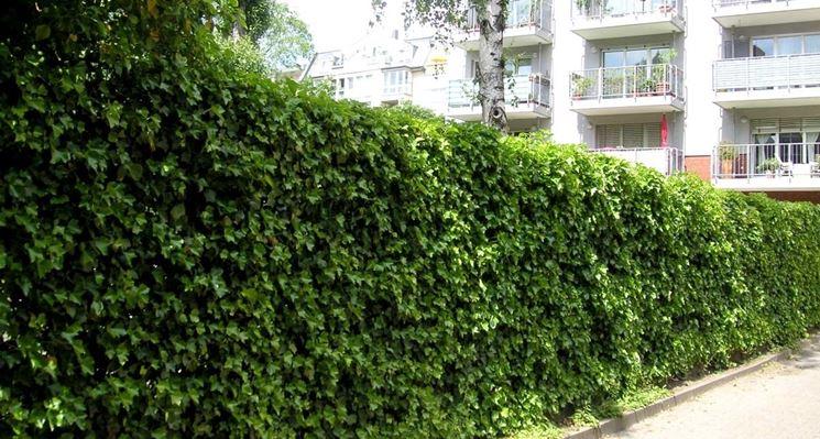 Edera rampicante piante per giardino pianta edera - Piante per giardino ...