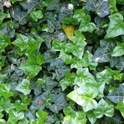 Rami e foglie di Edera