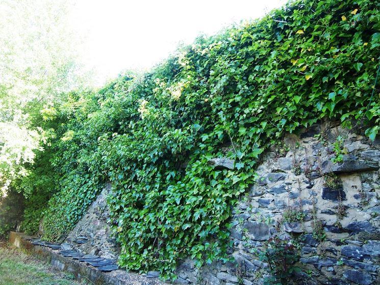 L'Edera pianta rampicante