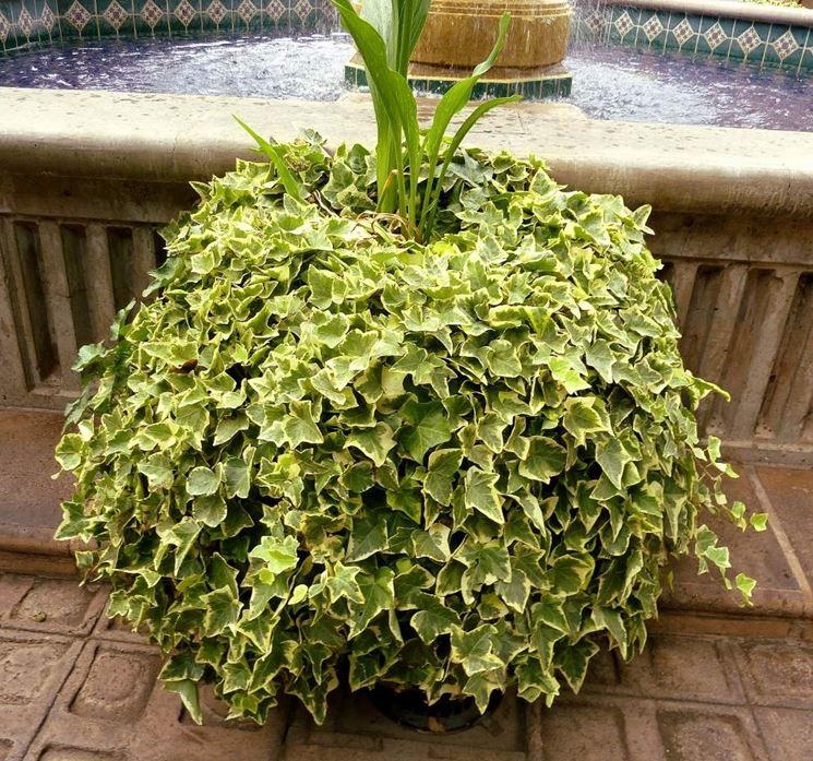 Edera piante per giardino coltivare edera for Talea edera