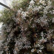 Splendido esempio di gelsomino fiorito