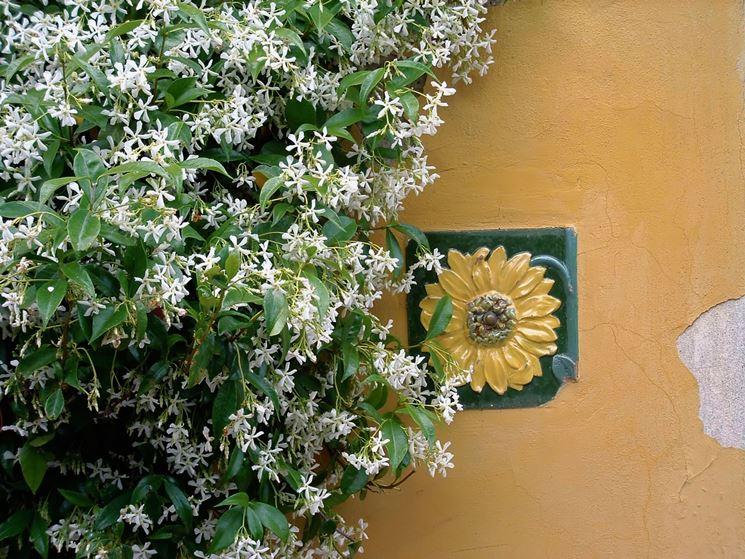 Ricca fioritura di Jasminum Pruning