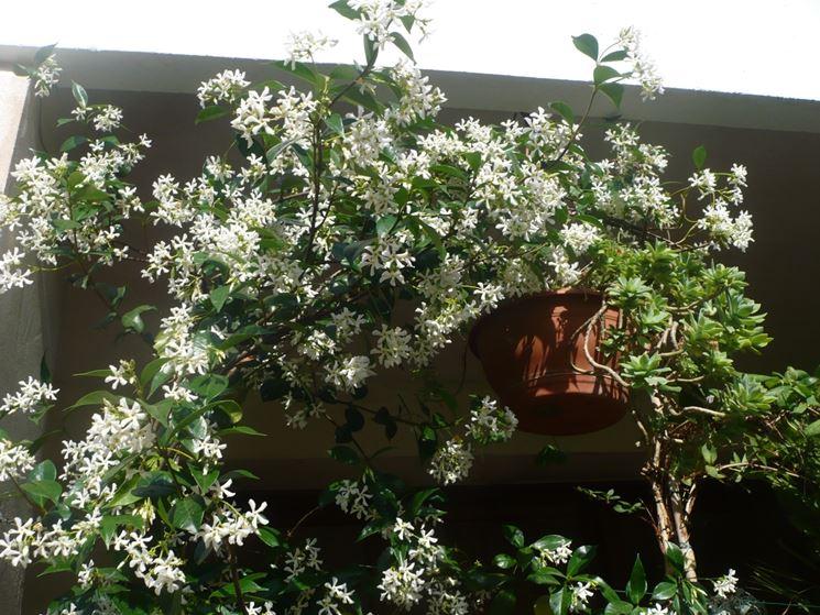 Gelsomino piante per giardino caratteristiche del for Potatura gelsomino