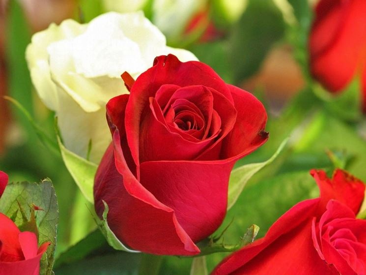 I fiori da giardino piante per giardino fiori esterno for Rose da giardino