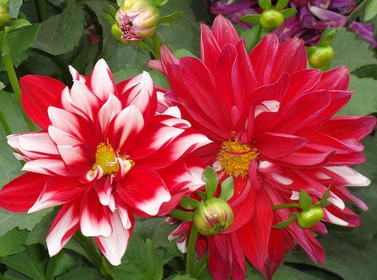 I fiori da giardino piante per giardino fiori esterno for Fiori da giardino