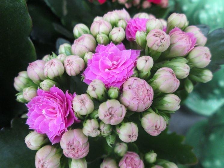 Kalanchoe a fiori stradoppi