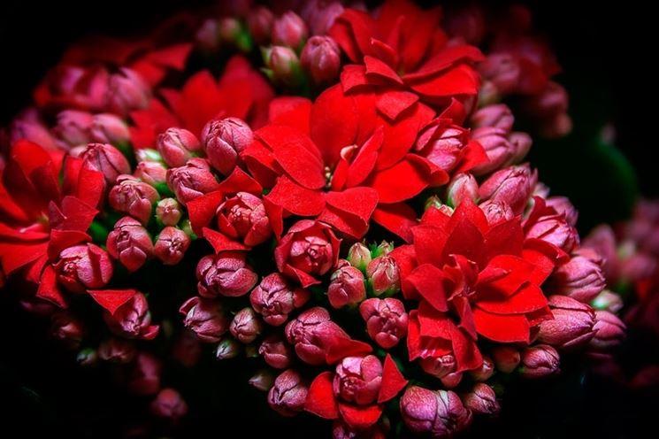 Kalanchoe a fiori rossi