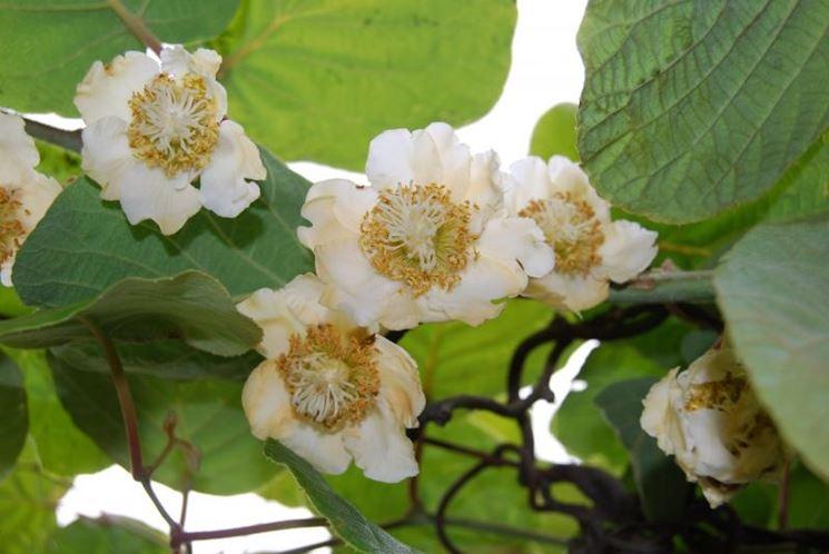 fiori di Actinidia
