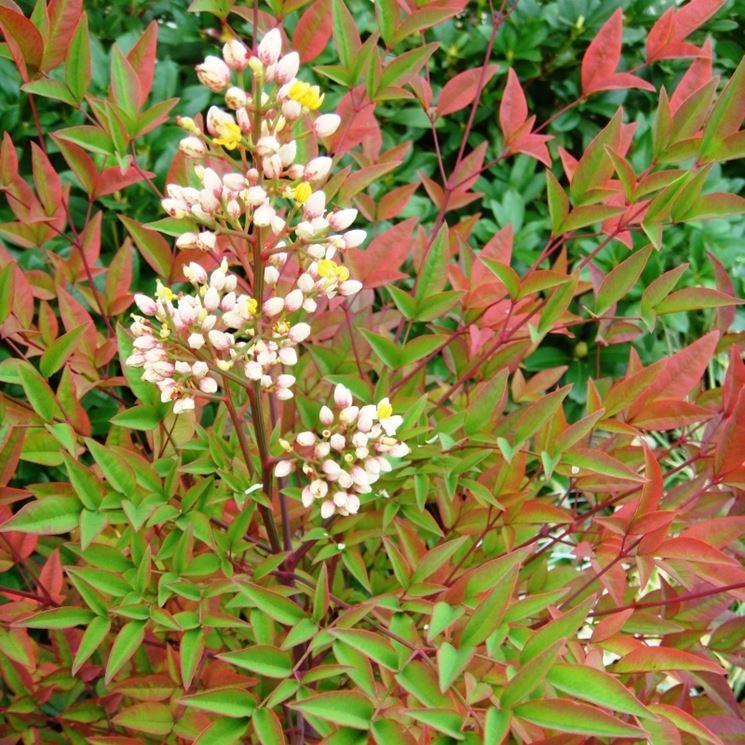 fiori nandina