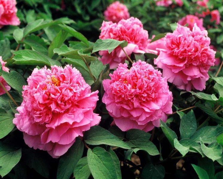Peonia in piena fioritura