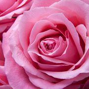 Una rosa di colore rosa acceso