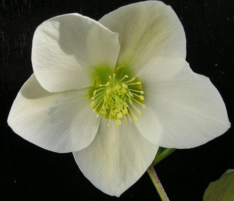 Rosa di Natale bianca