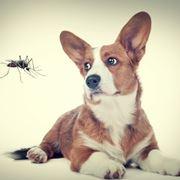 Anche il nostro Fido va protetto dalle zanzare