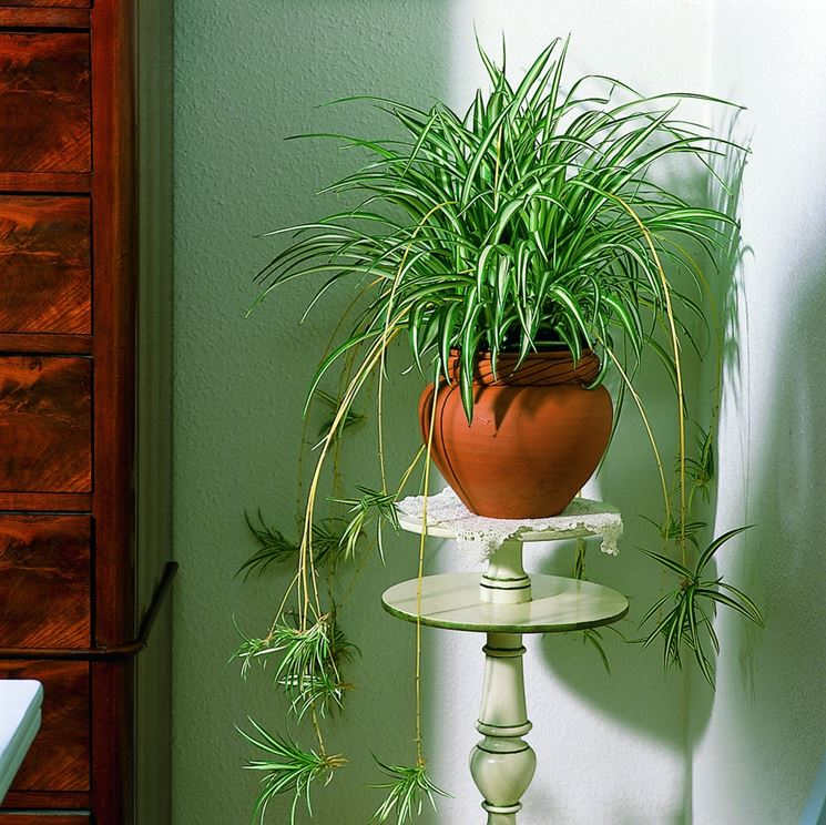 Elegante chlorophytum