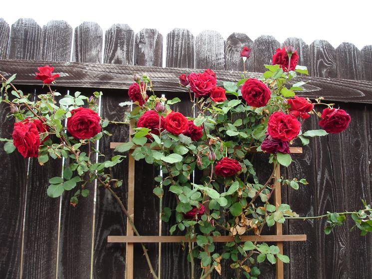 Le rose rampicanti crescono con pochi accorgimenti