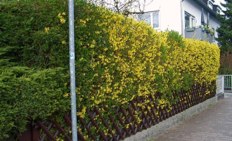 Siepi da giardino piante per giardino scegliere la siepe per giardino - Recinzione terrazzo ...