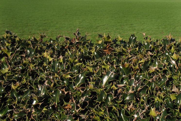 Siepe sempreverde di Agrifoglio