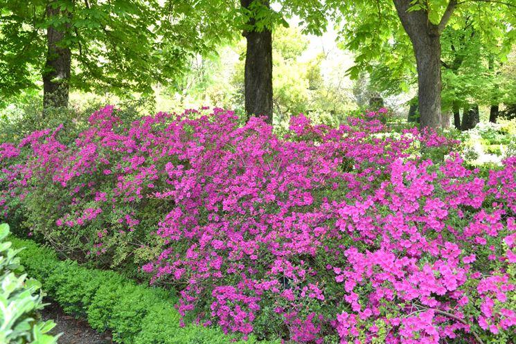 Arbusti di Rododendro in fiore