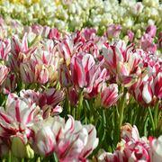 fiori di tulipano