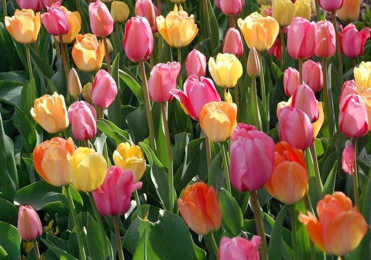 Alcune piante di tulipano