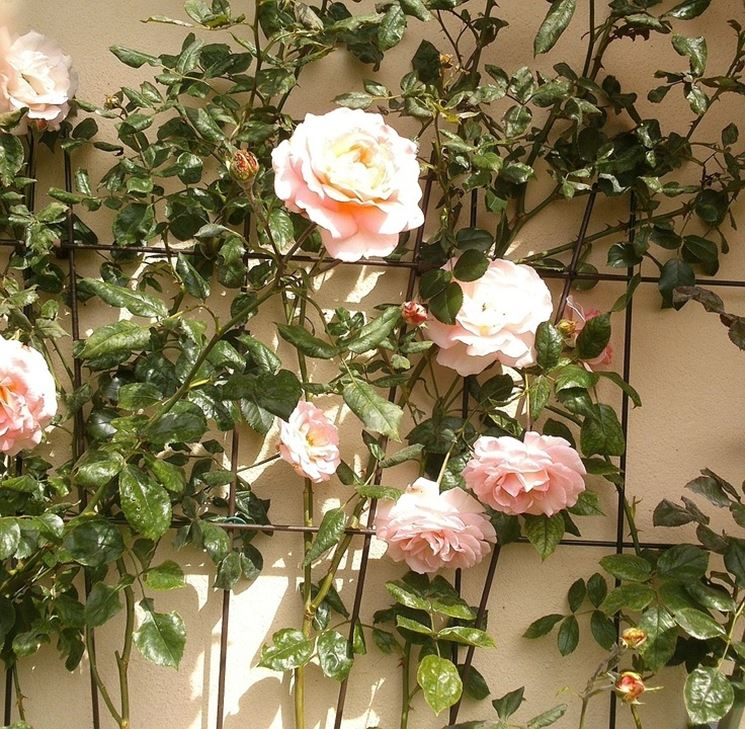 Traliccio per rose