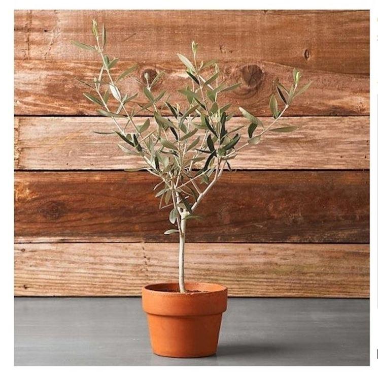 piantina di ulivo in vaso