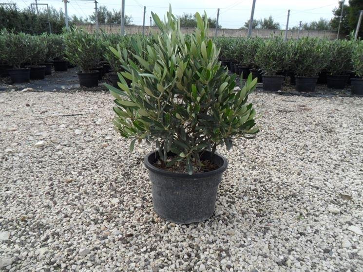 Esempio di ulivo in vaso